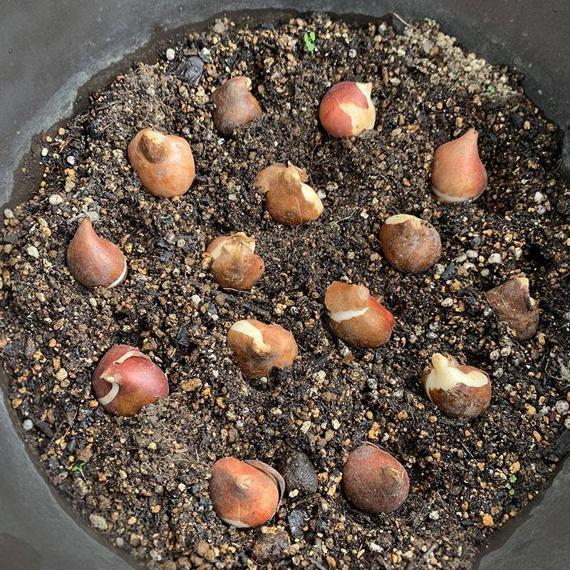 チューリップの球根 Photo by Yoko Kadokawa