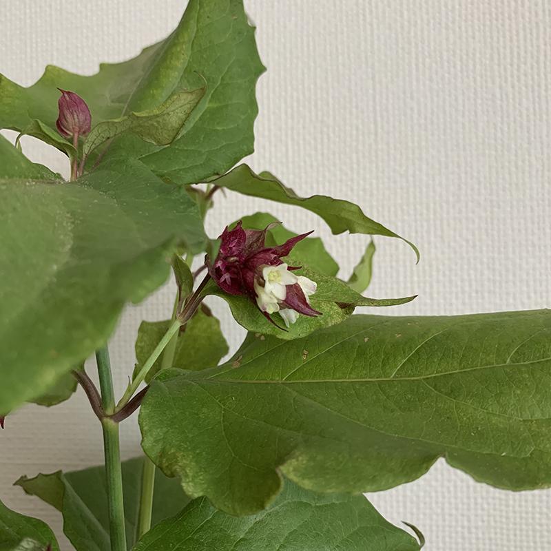 コエビソウ(ペロペロネ)の白い花