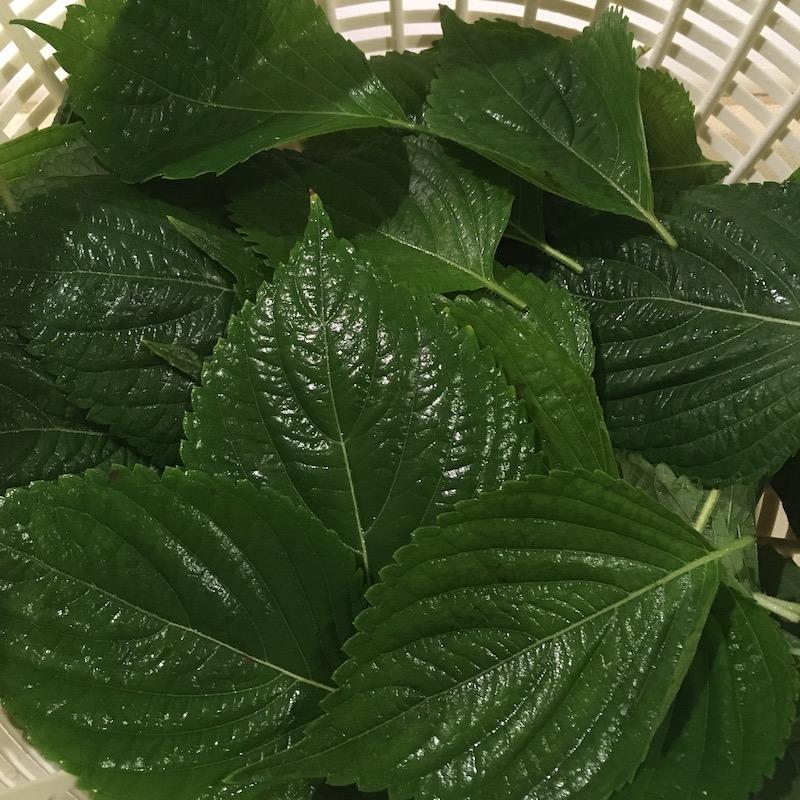 エゴマの葉の醤油漬けを作る